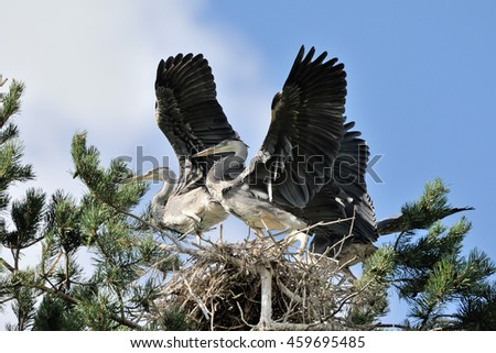 Three Grey Heron (Ardea cinerea) juvenile birds flapping wings in the nest - stock photo