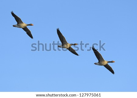 Three greylag geese (Anser anser) in flight against blue sky - stock photo