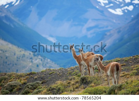 Three guanacoes in Torres del Paine national park - stock photo
