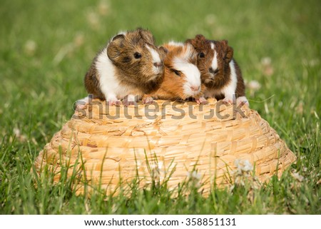 Three guinea pig on a basket in the grass - stock photo