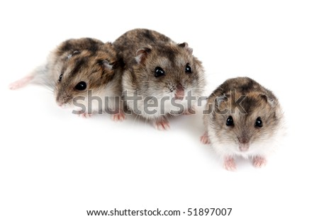 Three hamsters insulated on white background, small depth to sharpnesses - stock photo