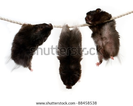 Three hamsters on a rope - stock photo