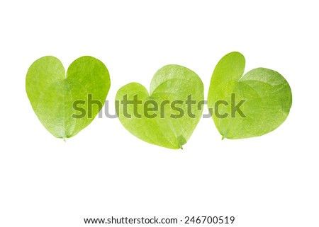 Three heart shaped leaves closeup isolated on white.  - stock photo