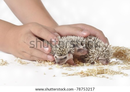 Three hedgehog - stock photo