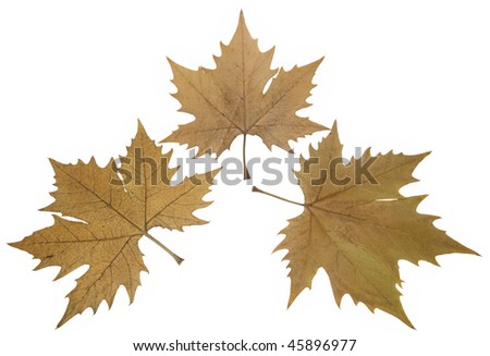 three high Resolution leaves of plane tree isolated on white