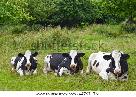 Three Holstein breed black-and-white dairy cows resting and ruminating on green pasture. - stock photo