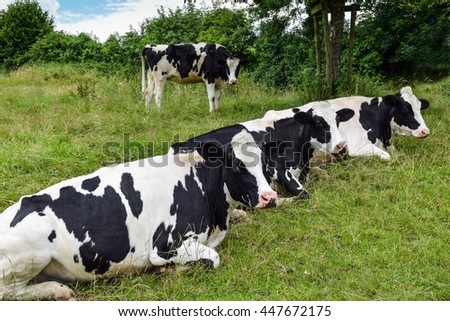 Three Holstein breed black-and-white dairy cows resting and ruminating on green pasture  - stock photo