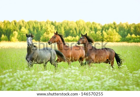 Three horse running trot at flower field in summer - stock photo