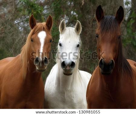 Three Horses - stock photo