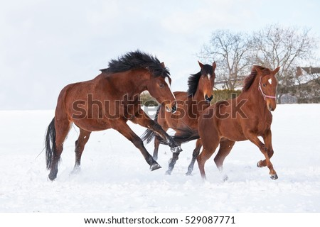 Three horses playing together in winter pasture