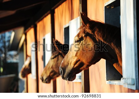 Three horses with the head outside of the stable. - stock photo