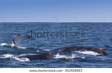Three humpback whales surfacing off the coast of Knysna, South Africa - stock photo