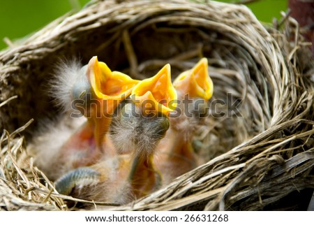 Three hungry baby Robins in a nest wanting the mother bird to come and feed them, copy space - stock photo