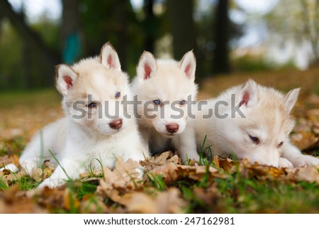 Three Husky puppy on the leaves in autumn - stock photo