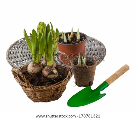 Three hyacinth in basket, garden tools and flower seedlings isolated on white background - stock photo