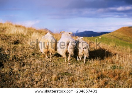 Three Iceland sheeps in autumn field at sunset - stock photo