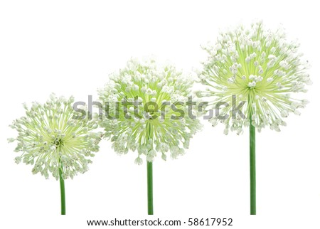 Three inflorescence of garlic on white background