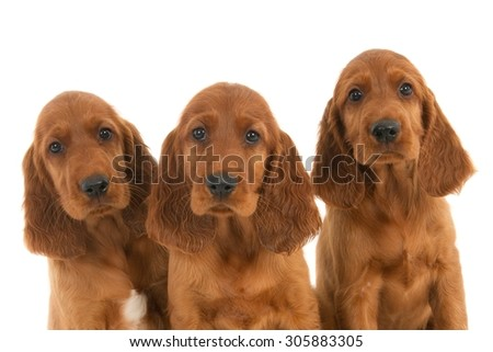 Three Irish setter puppies portrayed against a white background - stock photo