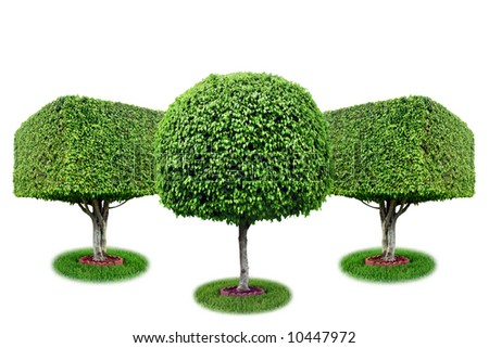 Three isolated ficus trees [ficus benjamina].