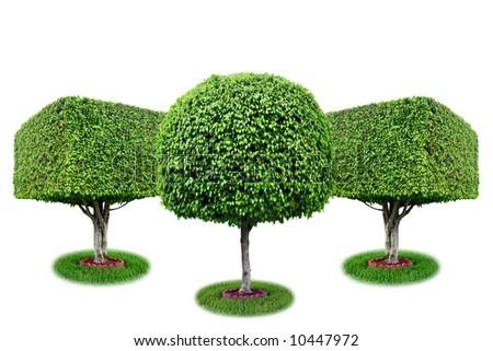 Three isolated ficus trees [ficus benjamina]. - stock photo