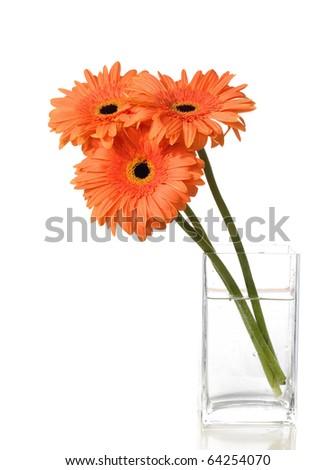 three isolated orange gerbera flowers in vase - stock photo
