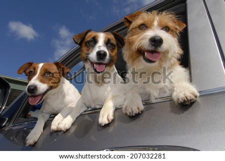Three Jack Russell Terriers at Car Window - stock photo