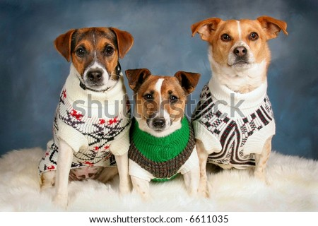 Three Jack Russells in Winter Sweaters - stock photo