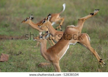 Three jumping impala lambs with the center one in focus and the other two out of focus - stock photo