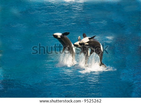 Three killer whales breach out of the water - stock photo