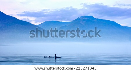 Three Killer whales in mountain landscape at Vancouver Island, Resident Coastal Fish-eaters, Orca, Orcinus orca, Johnstone Strait, Broughton Archipelago, Vancouver Island, British Columbia, Canada - stock photo