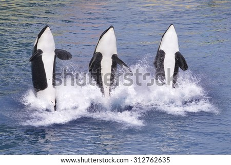 Three killer whales (Orcinus orca) jumping out of blue water - stock photo