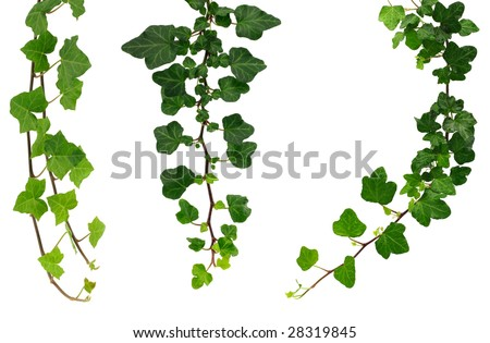 Three kinds of green ivy. - stock photo