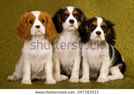 Three King Charles Cavalier Spaniel puppies sitting in a row on green background