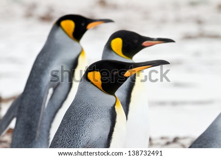 Three King penguins walking on the beach - closeup - stock photo