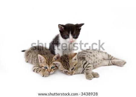 three kitten brothers (5 weeks) - stock photo