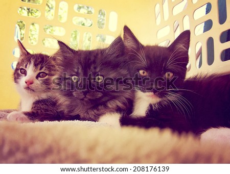 three kittens in a laundry basket toned with a vintage retro instagram filter - stock photo