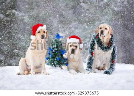 three labrador dogs posing with Christmas tree