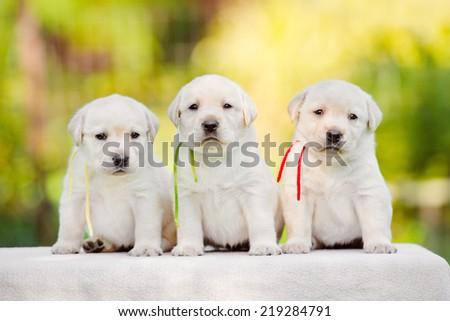 three labrador puppies - stock photo