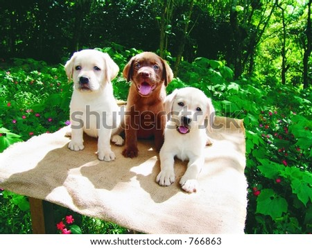 Three labrador puppies - stock photo