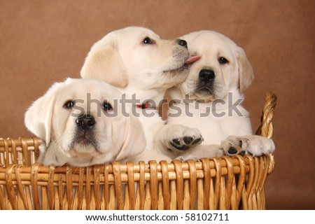 Three labrador puppies in a basket. - stock photo