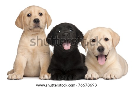 Three Labrador puppies, 7 weeks old, in front of white background