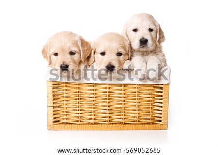 Three labrador puppy in a basket (isolated on white)