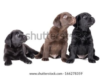 three labrador puppy on a white background in studio - stock photo