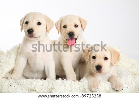 three Labrador puppy on white background - stock photo