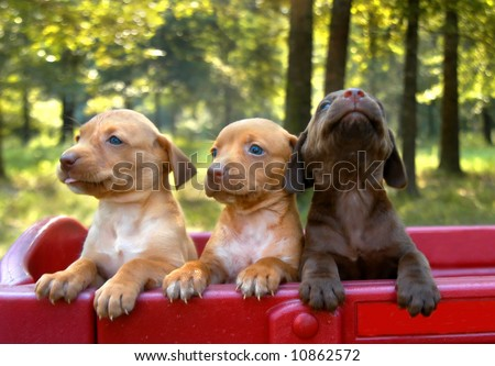 Three labrador retriever puppies stand in a red wagon.  One puppy is howling to escape.
