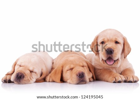 three labrador retriever puppy dogs  on white background, two sleeping and one barking to the camera - stock photo