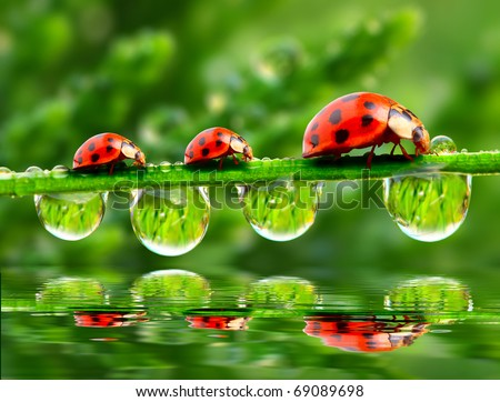 Three ladybugs running on a grass bridge over a spring flood. - stock photo