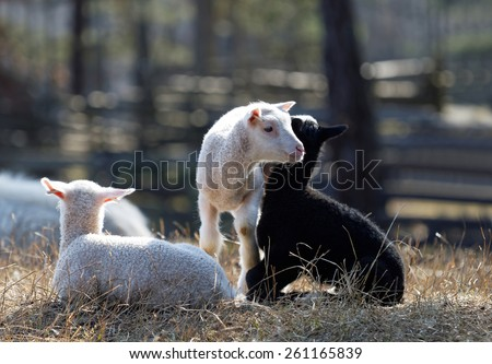 Three lambs enjoying life a sunny day in the meadow - stock photo