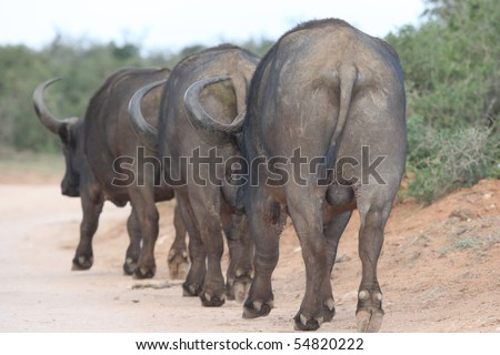 Three large African buffalo walking in single file