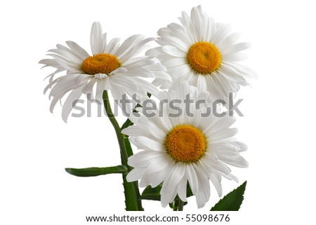 Three large daisy isolated on a white background - stock photo